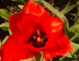 Rote-Blume