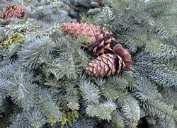 Tannenbaum-Weihnachtsbaum-zweige-Cofreeimages_paige-foster
